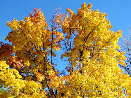 thornhill: Gold maple trees in Thornhill, Canada, November 6, 2016