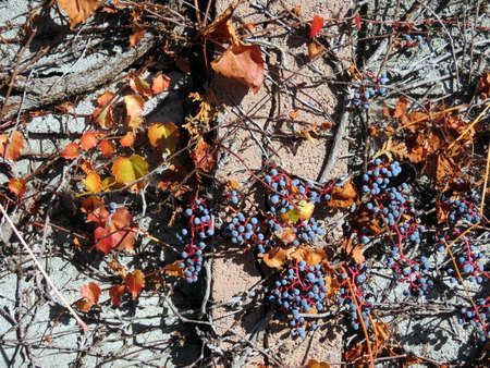 thornhill: Grapes on a fence in Thornhill, Canada, November 6, 2016