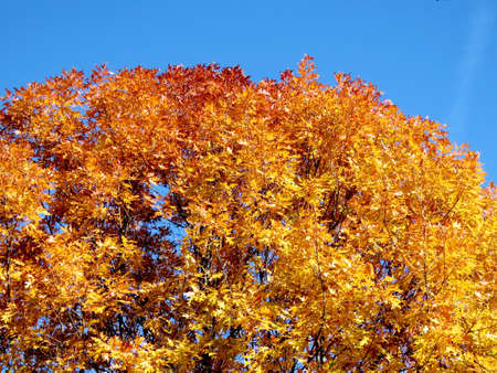 thornhill: The autumn maple tree in Thornhill, Canada, November 6, 2016