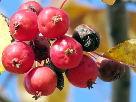 thornhill: Autumn apples on a tree in Thornhill, Canada, November 3, 2016 Stock Photo
