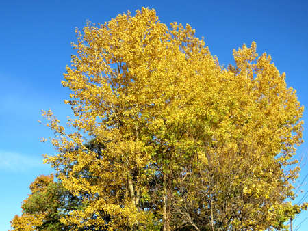 thornhill: Autumn birch tree in Thornhill, Canada, November 10, 2016 Stock Photo