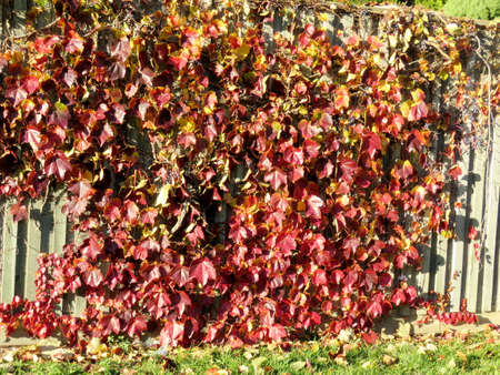 thornhill: Autumn leaves on a fence in Thornhill, Canada, November 10, 2016