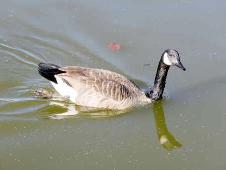 thornhill: Canadian goose on the Oakbank Pond in Thornhill, Canada, November 6, 2016