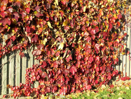 thornhill: The autumn leaves on a fence in Thornhill, Canada, November 10, 2016