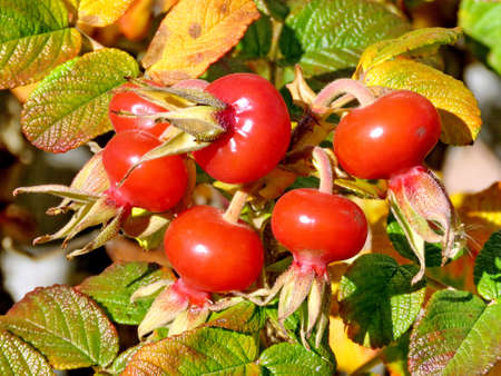thornhill: Rosehip fruits in Thornhill, Canada, November 17, 2016