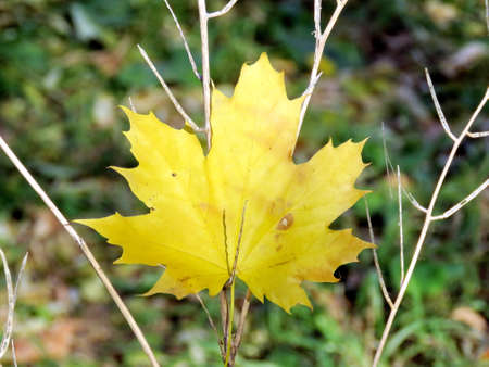 thornhill: The autumn maple leaf in Thornhill, Canada, November 17, 2016 Stock Photo