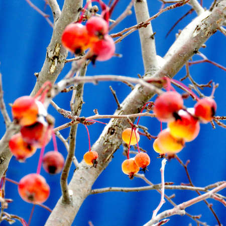 thornhill: Apples on a blue background in Thornhill, Canada, December 17, 2016