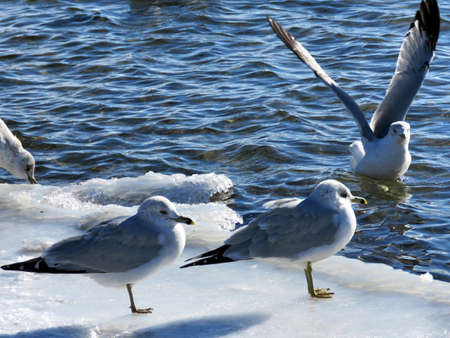 Gulls on a shore of the Lake Ontario in Toronto, Canada, January 6, 2017