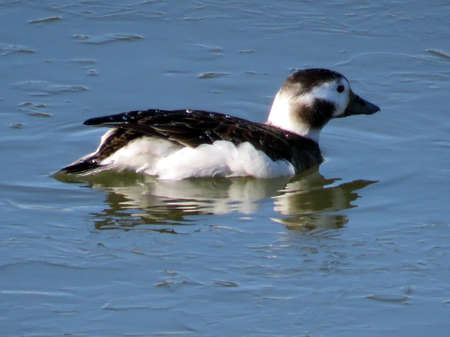 Long-tailed duck female on the Lake Ontario in Toronto, Canada, January 6, 2017 Stock Photo