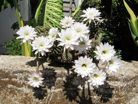 White cactus flowers in or yehuda israel august 2 2008 stock stock photo white cactus flowers in or yehuda israel august 2 2008 mightylinksfo