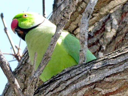 Green wild parrot on a tree Stock Photo