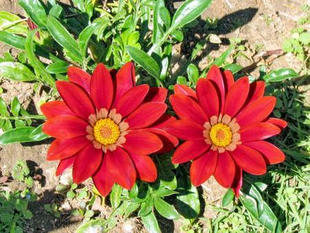 Red Gazania flowers in Park of Ramat Gan, Israel, February 21, 2012 Banco de Imagens