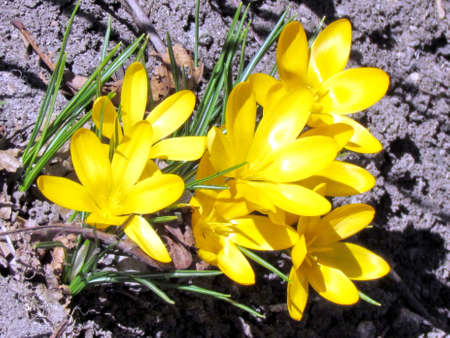 warming therapy: Yellow crocus flower