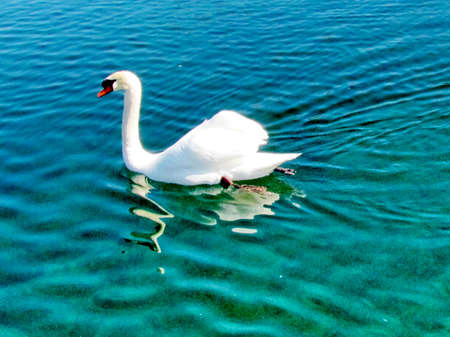 White swan on the Lake Ontario in Toronto, Canada, March 9, 2013