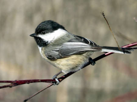 The Black-capped chickadee on a branch