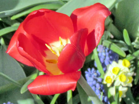 Red tulip in garden in Toronto, Canada, May 6, 2013