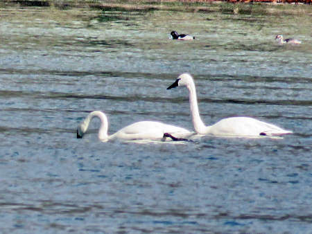 cygnus buccinator: Pair of Tundra Swans in the Potomac River at Riverbend Park, USA, March 19, 2017 Stock Photo