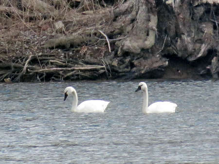 cygnus buccinator: The pair of Tundra Swans in the Potomac River at Riverbend Park, USA, March 19, 2017