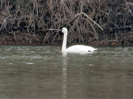 cygnus buccinator:  The Tundra Swan isolated in the Potomac River at Riverbend Park, USA, March 19, 2017