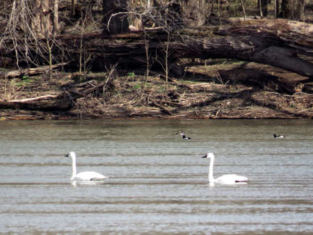 cygnus buccinator: The Tundra Swan swimming in the Potomac River at Riverbend Park, USA, March 19, 2017 Stock Photo