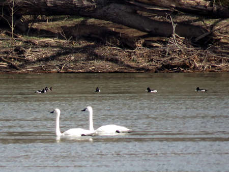 cygnus buccinator: The Tundra Swan and ducks in the Potomac River at Riverbend Park, USA, March 19, 2017