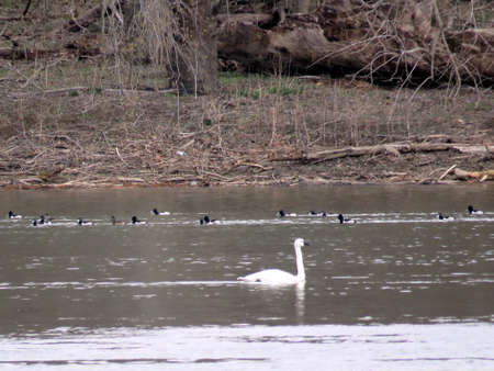 cygnus buccinator: Tundra Swan and ducks in the Potomac River at Riverbend Park, USA, March 19, 2017 Stock Photo