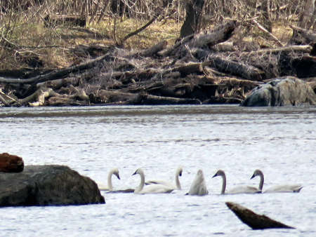 cygnus buccinator: Tundra Swans and ducks in the Potomac River at Riverbend Park, USA, March 19, 2017