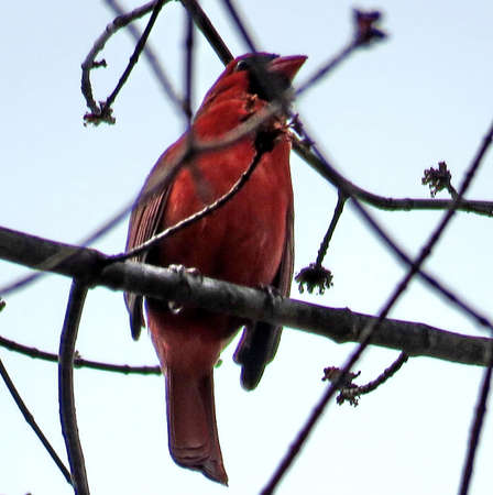plummage: Red Cardinal on a branch in forest of Mclean near Washington, USA, March 25, 2017
