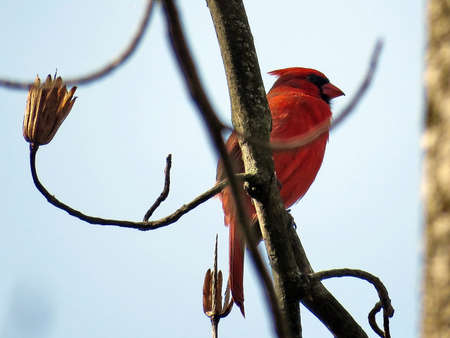 plummage: The Red Cardinal isolated in forest of Mclean near Washington, USA, March 21, 2017