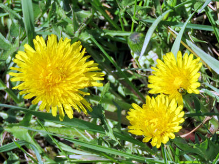 Dandelion flowers on the bank of Oakbank Pond in Thornhill, Canada