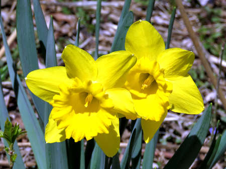 oakbank: Narcissus on the bank of Oakbank Pond in Thornhill, Canada