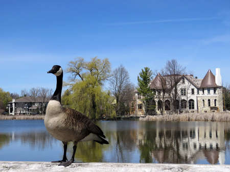 Canadian goose on the bank of Oakbank Pond in Thornhill, Canada                                Stock Photo