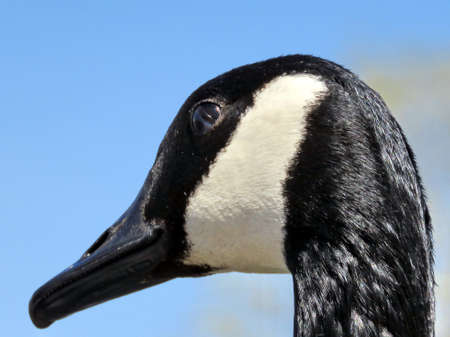 oakbank: Portrait of a Canadian goose on the bank of Oakbank Pond in Thornhill, Canada Stock Photo