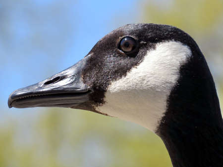 oakbank: The portrait of a Canadian goose on the bank of Oakbank Pond in Thornhill, Canada