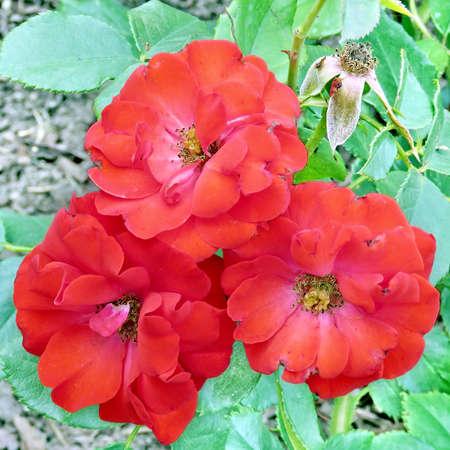 Montana rose in garden of Niagara Falls Ontario, 16 July 2016 Canada