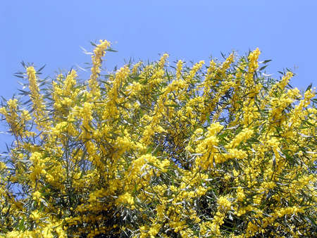 Mimosa in Or Yehuda, Israel,  March 18, 2005 版權商用圖片
