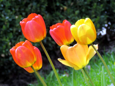 Tulip flower in Thornhill, Canada, May 9, 2017                                Stock Photo