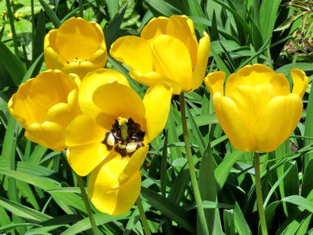 thornhill: Yellow tulip in Thornhill, Canada, May 9, 2017