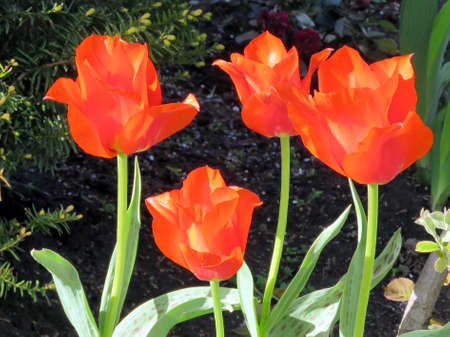 thornhill:  Red tulip flower in Thornhill, Canada, May 11, 2017