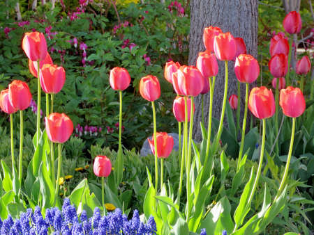 thornhill:  Red tulip flowers in Thornhill, Canada, May 11, 2017