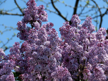 Lilac branchs in Thornhill, Canada, May 18, 2017 Stock Photo