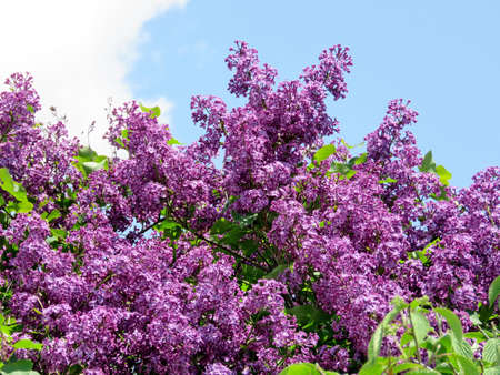 Lilac bushs in Thornhill, Canada, May 18, 2017 Stock Photo