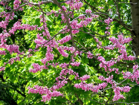thornhill: Redbud Tree in Thornhill, Canada, May 18, 2017