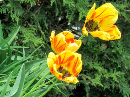 thornhill: Orange tulip flower in Thornhill, Canada, May 18, 2017