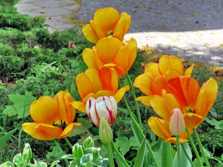thornhill: Orange tulip in Thornhill, Canada, May 18, 2017 Stock Photo