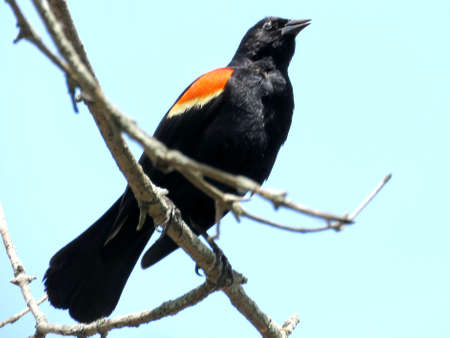 thornhill: Red-winged Blackbird on a tree  in Thornhill, Canada, May 18, 2017