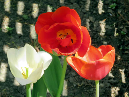 White and red tulip flowers in Thornhill, Canada, May 18, 2017