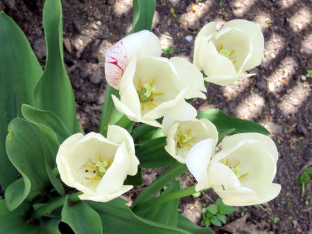 White tulip flowers in Thornhill, Canada, May 18, 2017