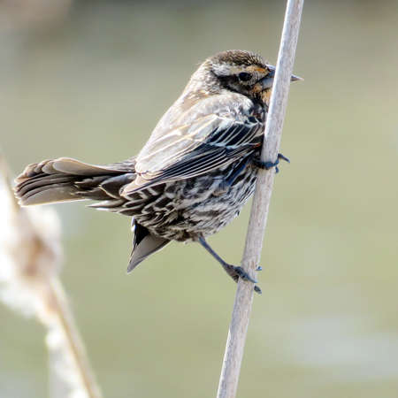 oakbank: Female Red-winged Blackbird on the bank of Oakbank Pond in Thornhill, Canada, April 17, 2017 Stock Photo