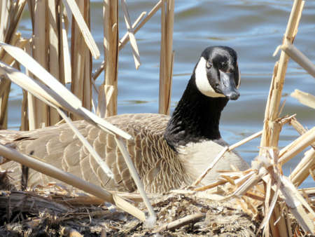 oakbank: Canadian goose sitting on eggs in nest on the bank of Oakbank Pond in Thornhill, Canada, April 17, 2017